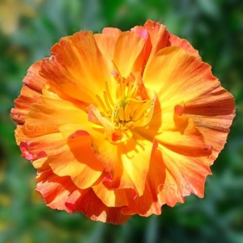 One stop poppy seeds shoppe buy annual poppiesflower seed mightylinksfo