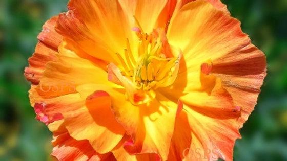 California Poppy Seeds ThaiSilk Apricot Chiffon N7