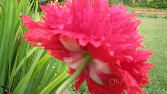 Papaver Somniferum Poppy Seeds - Fire and Snow