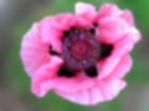 Oriental Poppy Seeds Louvre