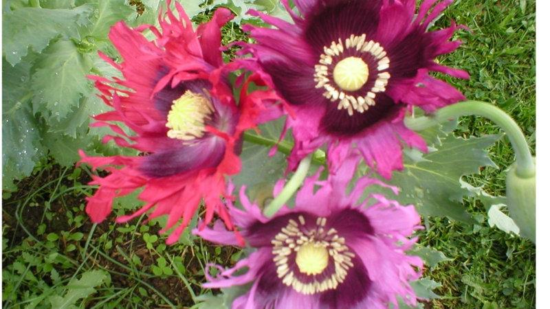 Papaver somniferum Pepperbox Flower Mix.  Single Breadseed Poppies.