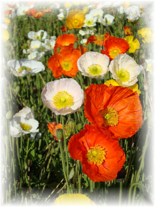 Buy poppy flower seeds alpine poppies a1 poppy seeds perennial flowers 6 8 inch tall plants produce gorgeous 1 2 inch satiny poppies in shades of orange yellow white and salmon mightylinksfo