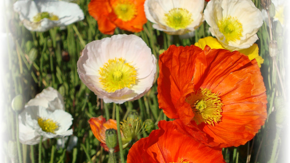 Buy Poppy Flower Seeds - Alpine Poppies A1