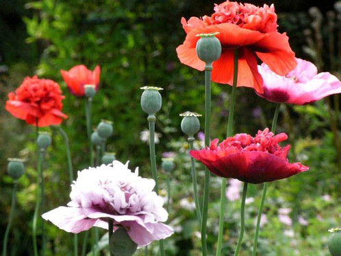 Mixed peony poppy flower seeds f9 poppy flower seeds papaver somniferum var paeoniflorum peony poppies a large mix of gorgeous hues are offered in this double flowered heirloom variety mightylinksfo