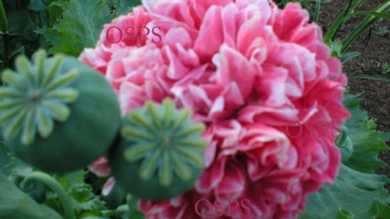 Poppy Seeds - Frosted Salmon Peony Poppies C6