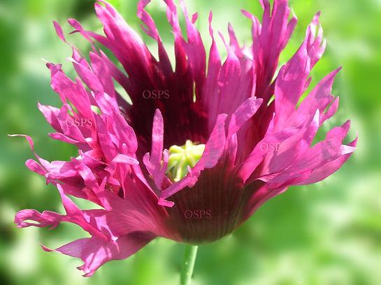 Papaver somniferum Poppy Seeds