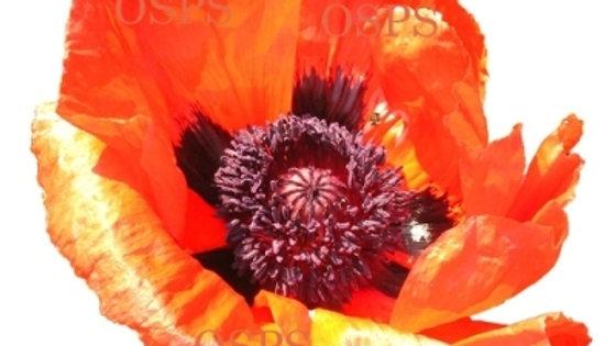 Oriental Poppy Flower Seeds - Brilliant Poppies B2