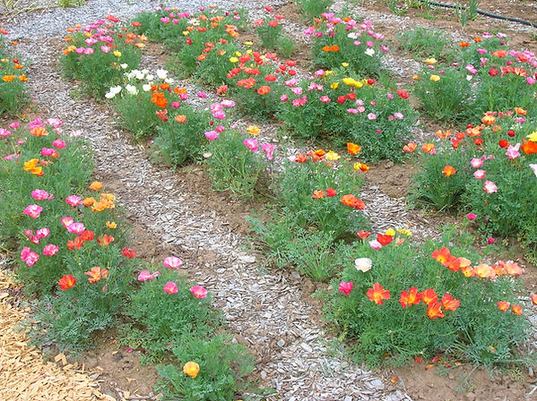 California Poppy Seeds Jelly Beans