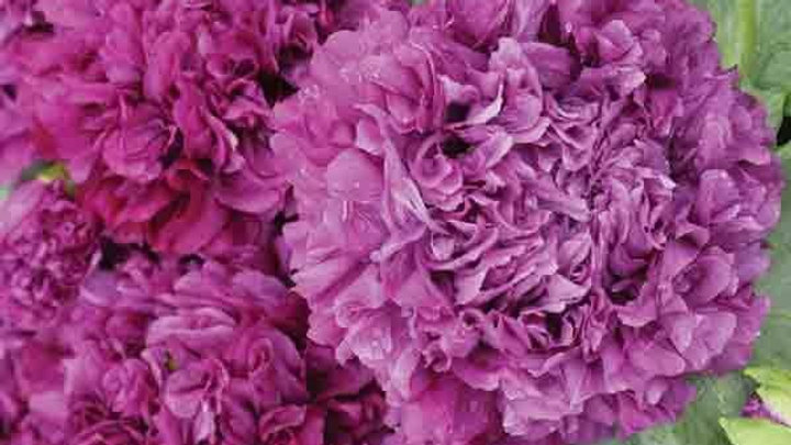 Poppy Flower Seeds - Purple Double  Peony Poppies. Papaver Paeoniflorum J5