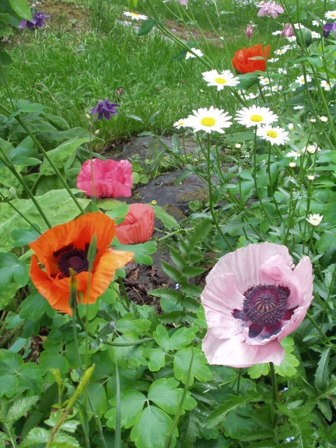 Mixed oriental poppy flower seeds f2 buypoppy seeds flower garden perennial flowers 3 foot tall perennial plants produce gorgeous very large 5 inch bright flowers a superb mix of oriental poppies colors include lovely mightylinksfo Gallery