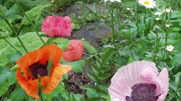 Mixed Oriental Poppy Flower Seeds F2