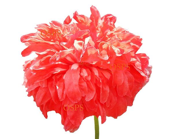 Buy Poppy Seeds Burnt Orange