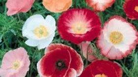 Poppy Seeds - Papaver Rhoeas Shirley Mix F5