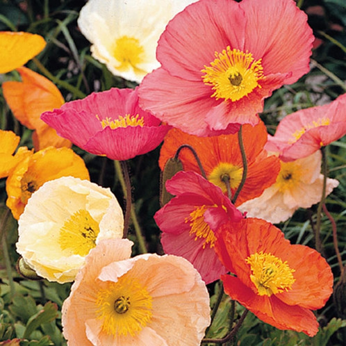 Poppy kelmscott giant mix iceland poppies m3 poppy seeds papaver nudicaule iceland poppy kelmscott giants mix beautiful long stemmed poppy flowers 18 inch tall poppies perennial zones 2 9 mightylinksfo