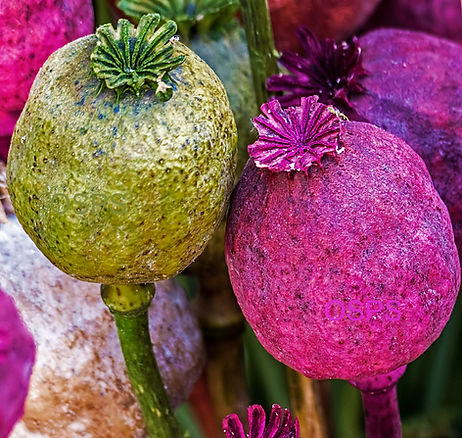Papaver somniferum Poppy Seeds