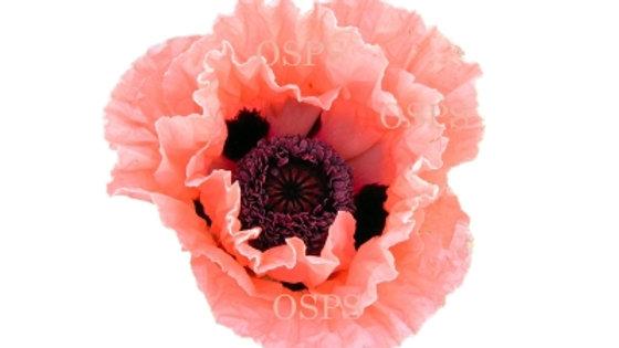 Oriental Poppy Flower Seeds - Garden Glory C7