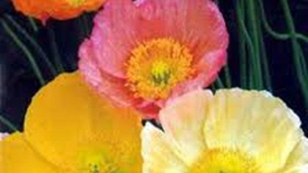 Poppy - Pastel Shades Mix - Papaver Nudicaule Iceland Poppies N8