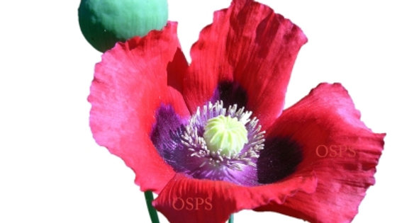Somniferum Poppy Seeds - Bright Red Single G9