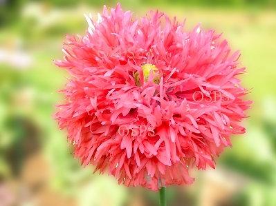 Poppy flower seeds peach feathers poppies f6 mightylinksfo