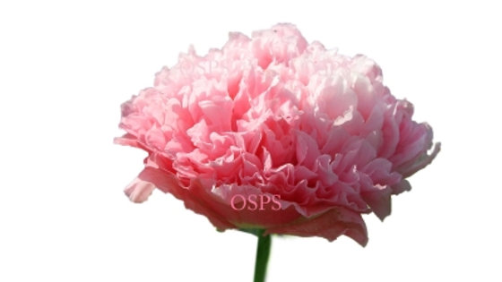 Poppy Flower Seeds - Antique Rose A3
