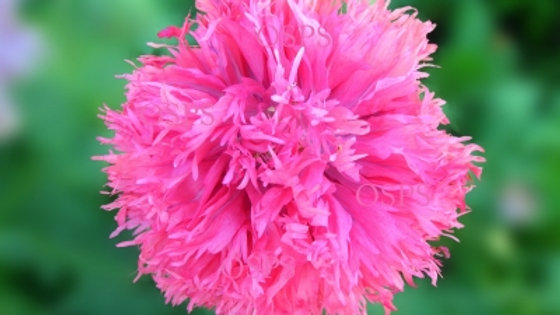 Poppy Flower Seeds - Pink Feathers F8