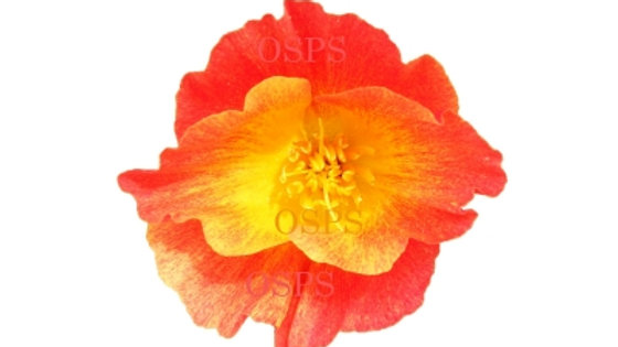 California Poppy Flower Seeds - Red Chief  H2