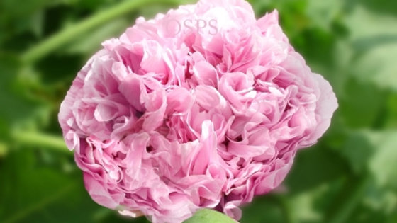 Poppy Seeds - Lilac Peony Poppies Papaver paeoniflorum E4