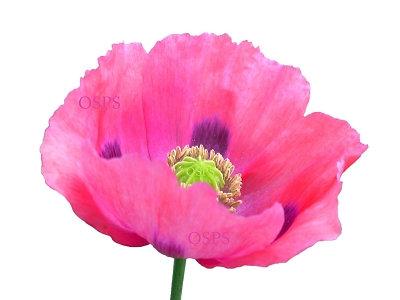 Somniferum poppy flower seeds pink dawn f7 mightylinksfo