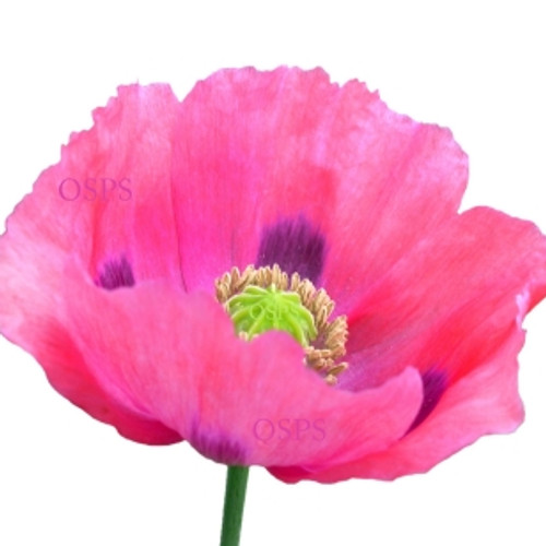 One stop poppy seeds shoppe buy annual poppiesflower seed somniferum poppy flower seeds pink dawn f7 mightylinksfo