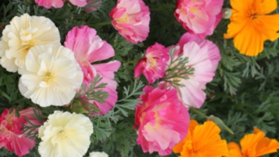 California Poppy Flower Seeds - Jelly Beans K1