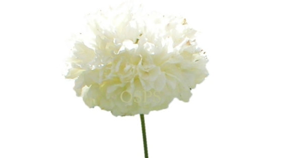 Poppy Flower Seeds - White Cloud Peony