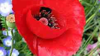 Red Tulip Poppy Seeds - Papaver Glaucum F4