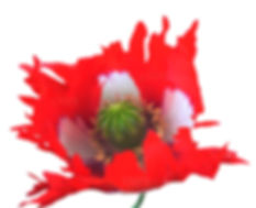 Poppy Seeds Red White Taffeta