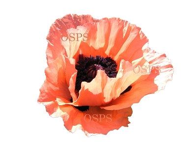 Oriental poppy flower seeds coral reef b5 mightylinksfo