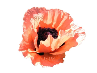 Oriental poppy flower seeds coral reef b5 poppy seeds papaver orientalis papaver orientale oriental poppies perennial poppy flowers gorgeous very large 5 inch vivid coral pink bright blooms mightylinksfo