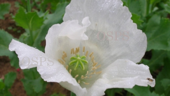 Papaver Somniferum Poppy Seeds - Album J6