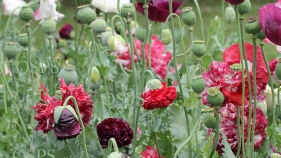 Papaver Somniferum Seeds – Antique Colors