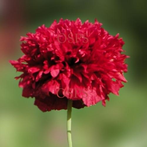 One stop poppy seeds shoppe buy annual poppiesflower seed poppy flower seeds scarlet peony poppies h4 mightylinksfo