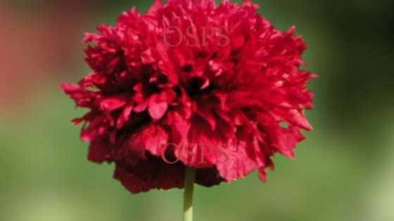 Poppy Flower Seeds - Scarlet Peony Poppies H4