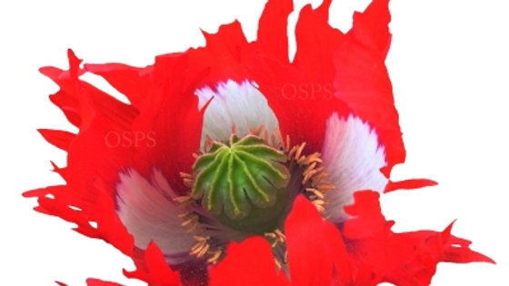 Papaver somniferum Poppy Seeds - Danish Flag