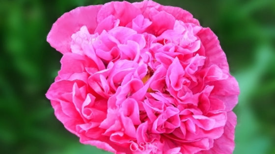 Poppy Flower Seeds. Bright Pink Peony Poppies B1