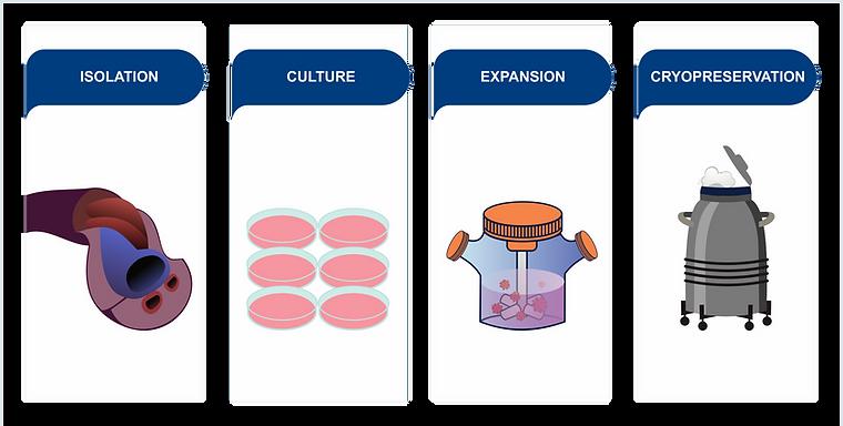 Process-WHARTON-CELLS-3.png