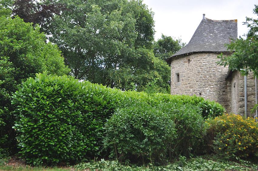 Cèdre blanc - Haies La Salle - Côtes d'Armor