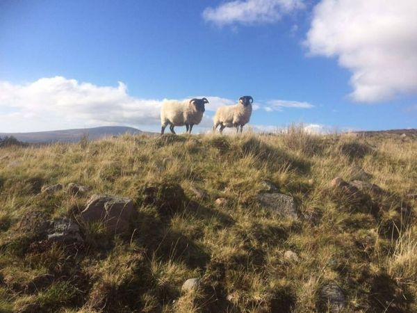 Two curious sheep in the Wicklow Mountains