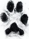 muddy-paw-print.jpg