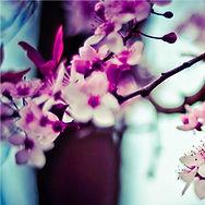 Миндальное дерево Цветы