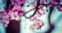 Flores da árvore de amêndoa