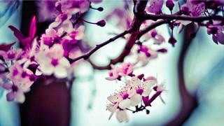 SF26 Almond Tree