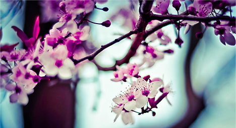 Mandelbaum Blumen