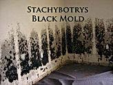 Stachybotrys Black Mold Treatment